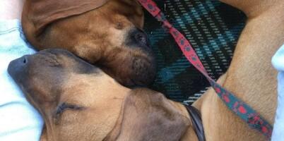 Image: Havanna og Ebba kan redde 16 hundeliv i året